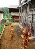 foto of chicken-wire  - A brood of brown - JPG