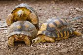 foto of animals sex reproduction  - Pair of radiated tortoises mating  - JPG