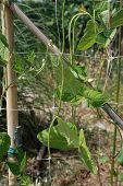 foto of bean-pod  - Vigna Unguiculata Sesquipedalis pods growing supported by plastic netting - JPG