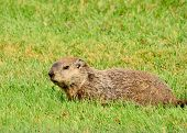 image of groundhog  - A Groundhog laying in the green grass.