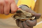 stock photo of food chain  - Fresh oyster held open with a oyster knife in a hand with an oyster glove - JPG