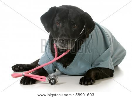 senior dog dressed up like a veterinarian isolated on white background - black labrador retriever