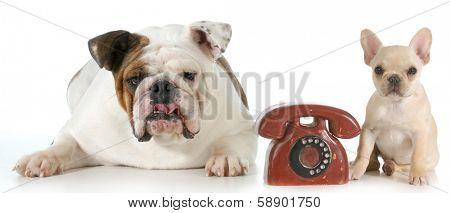 dog communication - english and french bulldog with telephone between them isolated on white background