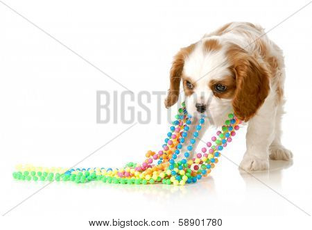 naughty puppy - cavalier king charles puppy pulling on colorful beads isolated on white background