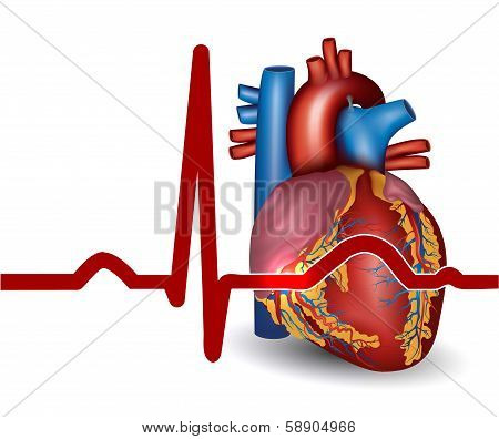 Human Heart Beat, Isolated On White