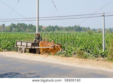 Cart Driver At Dragon Fruit Plantation