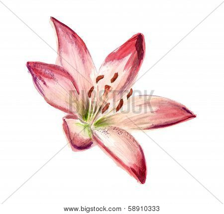 Watercolor red-white lily