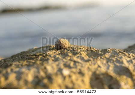 Sea Snail Or Whelk On Top Of A Coastal Rock