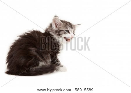 Cute Maine Coon Kitten Meowing
