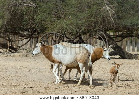 Family of Sahara scimitar Oryx (Oryx leucoryx) in Hai-Bar nature reserve near Eilat, Israel
