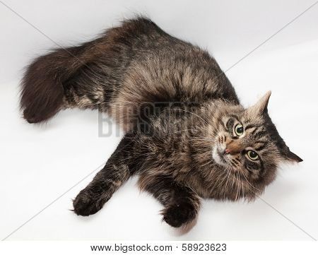 Striped Siberian Cat Is Looking Askance