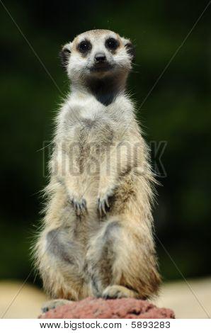 Meerkat Leader