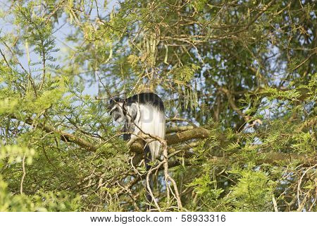 A Guereza Colobus In A Tree
