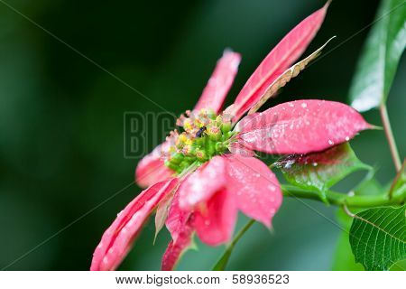 Pink Poinsettia With Bee