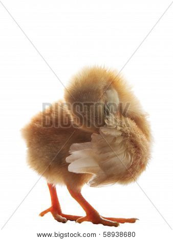 Young Little Chick Baby Preen Wing Plumage Feather Isolated On White Background