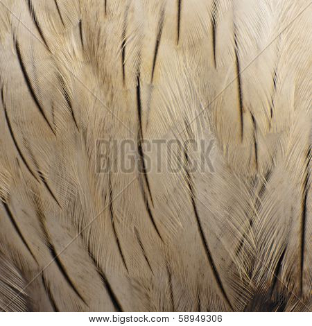 Brahminy Kite Feather