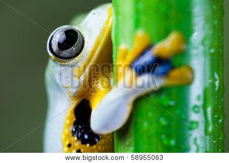 Exotic frog in indonesia, Rhacophorus reinwardtii