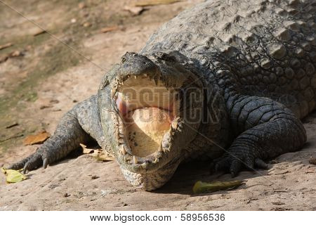 West African Crocodile