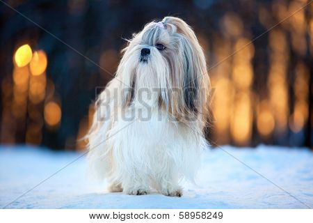 Shih tzu dog winter portrait.