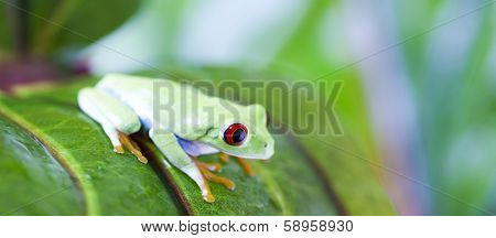 Red eye yree frog on leaf