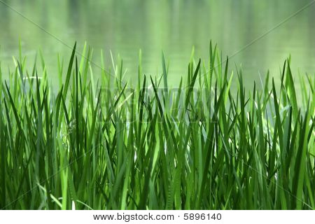 Green Reed On A Lake