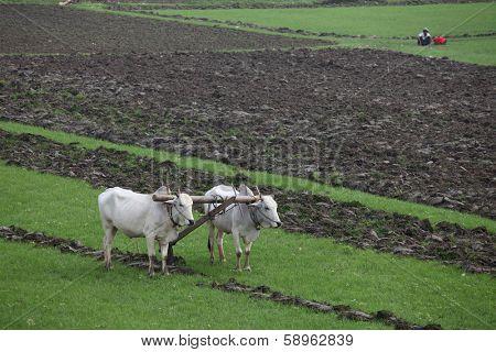 Plowing fields with an ox team in Myanmar