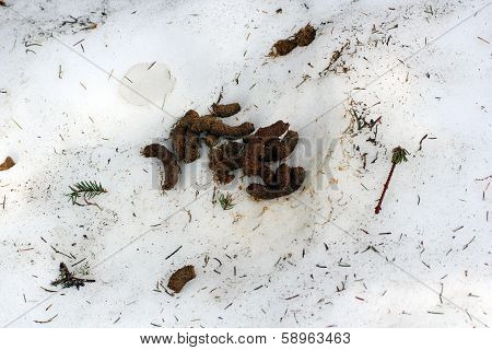 Capercaille Excrements In Snow