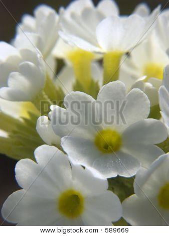 White Primula I