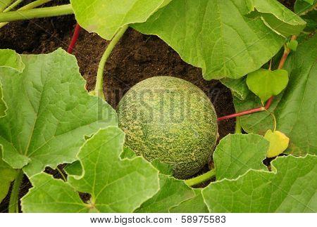 Canteloupe in the garden