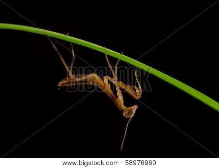 Mantis Isolated