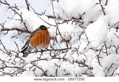 American robin in snowy tree