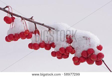 Crabapple tree in winter