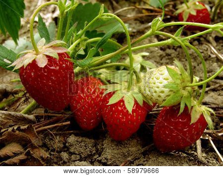 strawberry fruits ripening on the branch