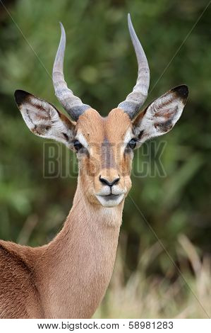 Young Impala Antelope