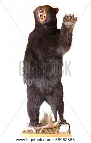 Taxidermy of a North American Black bear