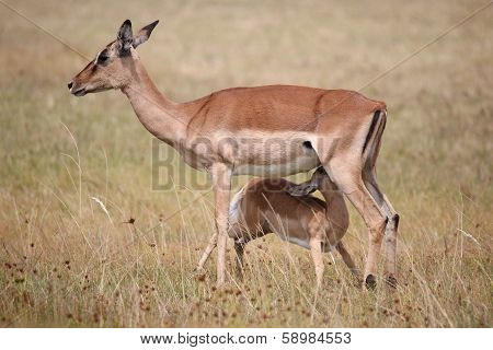Impala Antelope Baby And Mom