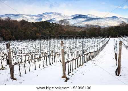Vineyards Rows Covered By Snow In Winter. Chianti, Florence, Italy