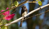 Black Phoebe In Orchid Tree