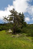 Old Tree On An Alpine Hill