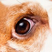 picture of seeing eye dog  - Eye of a dog macro shot beagle - JPG