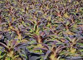 foto of bromeliad  - Close Up Of Bromeliad Plants In The Garden - JPG
