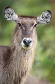 stock photo of erection  - Portrait of a Waterbuck antelope with large erect ears - JPG