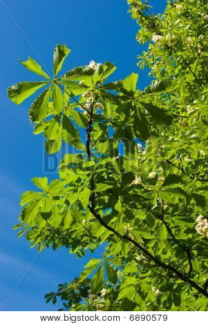 Blossoming Chestnut Branches
