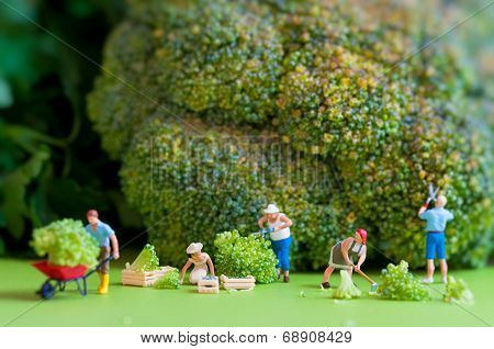 Group Of Farmers Harvesting A Giant Cauliflower.