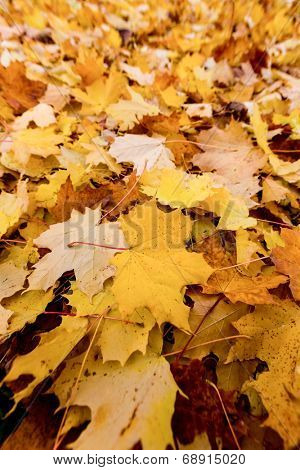 yellow autumn leaves have fallen from the trees. colorful season.