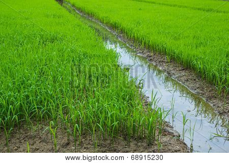 The Rice Seedlings Vegetate In Water.