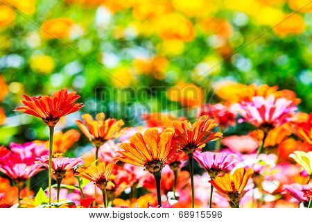 Colorful Pink Autumnal Chrysanthemum In The Garden