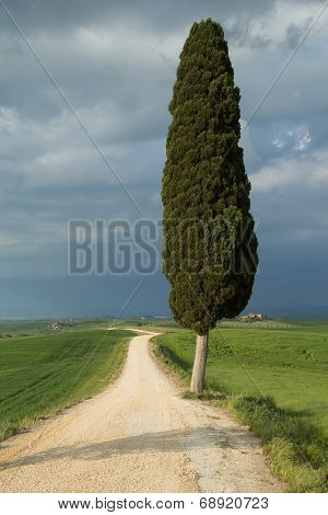 Lonely Tree In Tuscan Landscape