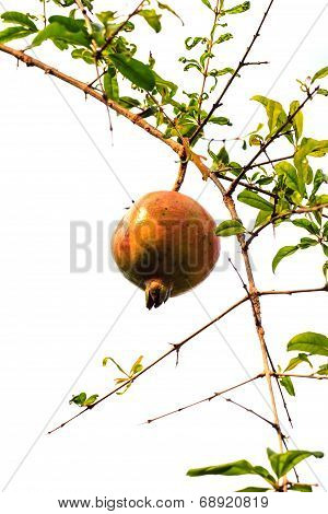 Pomegranate Fruits On A Branch With Leaves