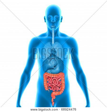 Intestines in the body